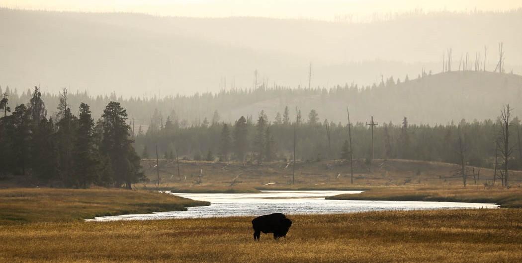 En bisonoxe betar gräs i skymningen i nationalparken Yellowstone. Foto: Erik Bergin