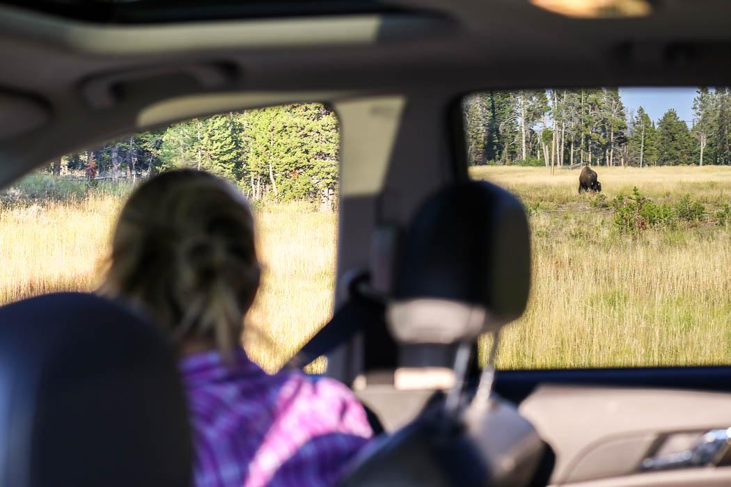 Vi kollar in en bison från bilen.