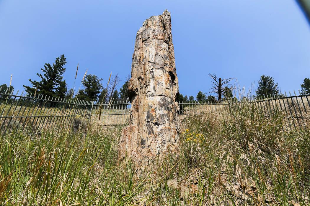 """Ett så kallat """"petrified tree"""", ett träd som förvandlats till sten under miljoner år."""