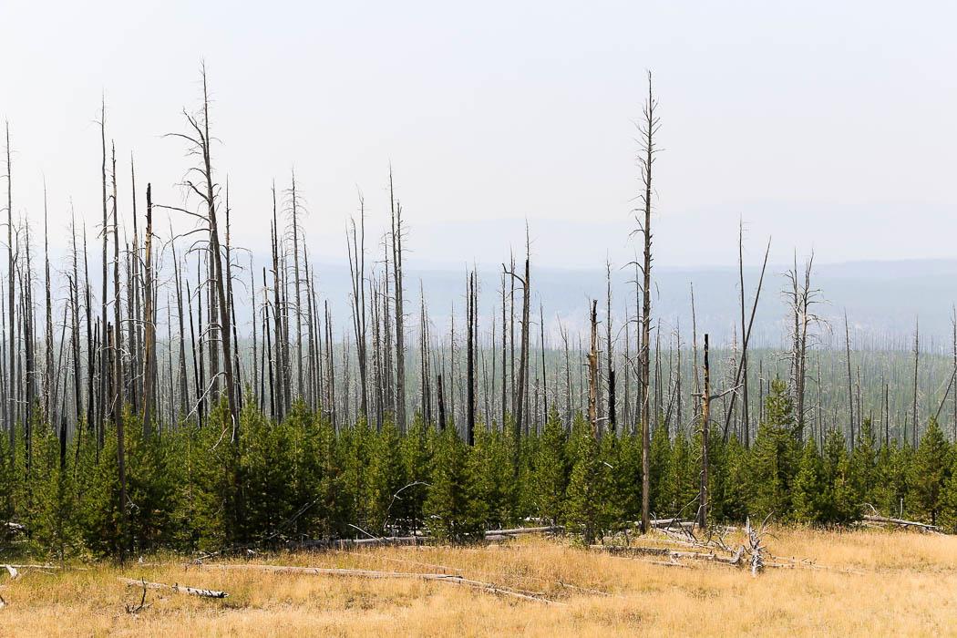 Nyligen nedbrunnen skog i norra Yellowstone.