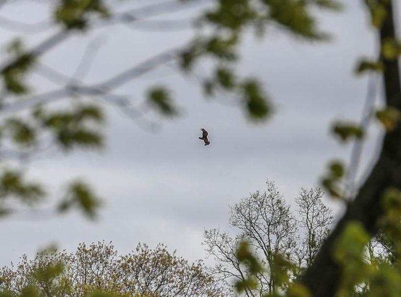 En örn, eller åtminstone någon sorts rovfågel, i fjärran. Foto: Erik Bergin.