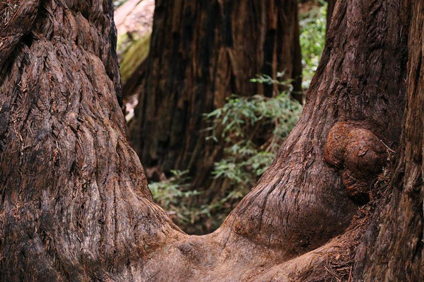 redwood-6