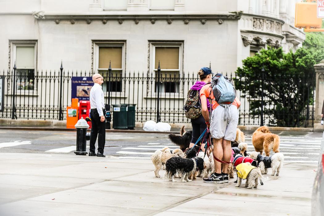 Har man pengar och bor på Upper East så hyr man in personal som går ut med hundarna. Som här.