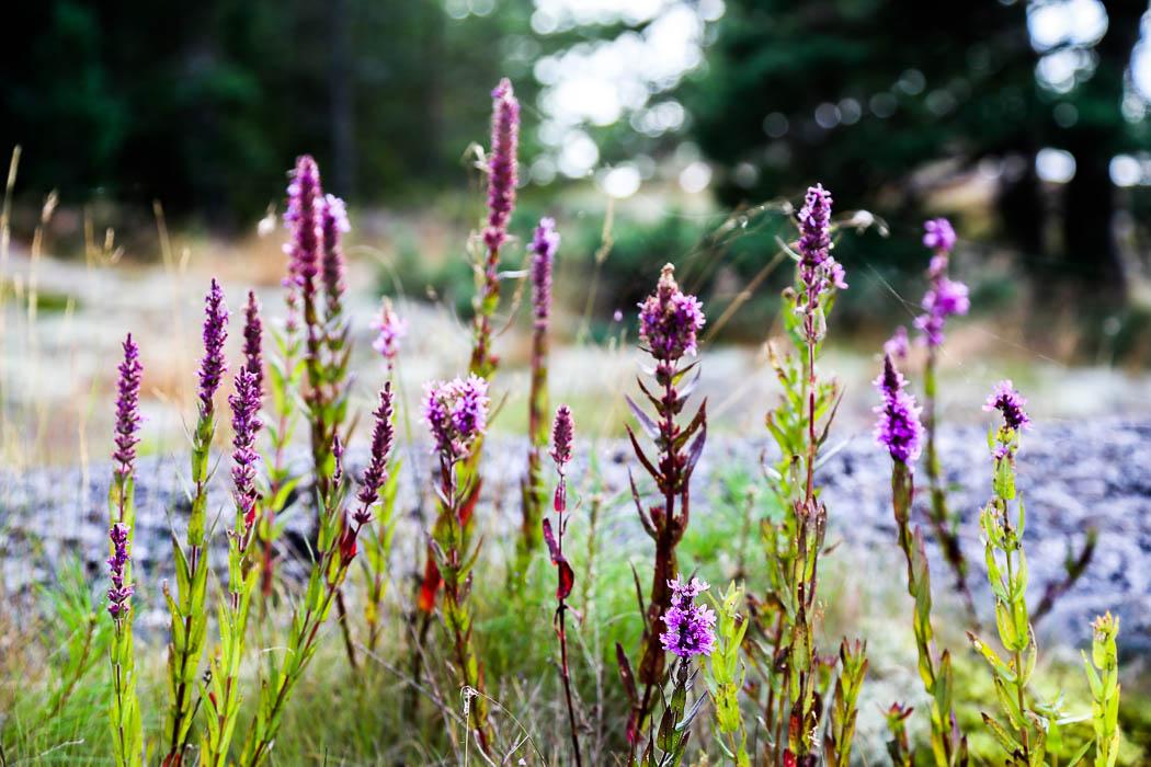 Plantor på Furuholmen, strax söder om Nämdö.