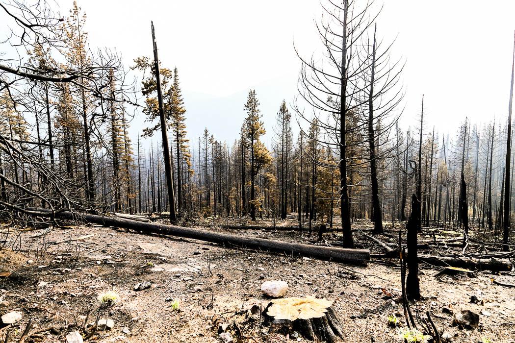 De omfattande skogsbränserna ha satt spår i parken Glacier, Montana. Här nysvedda stammar.