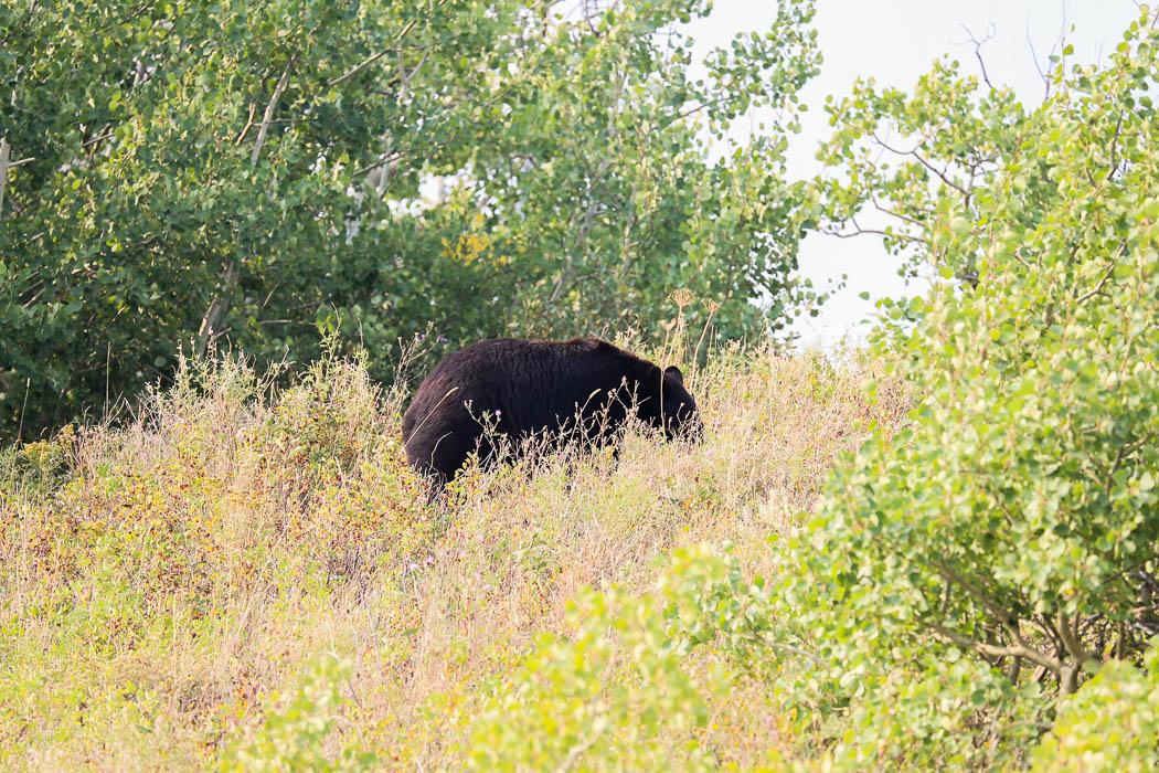 En trolig svartbjörn siktad strax utanför Glaciers östra utfart.