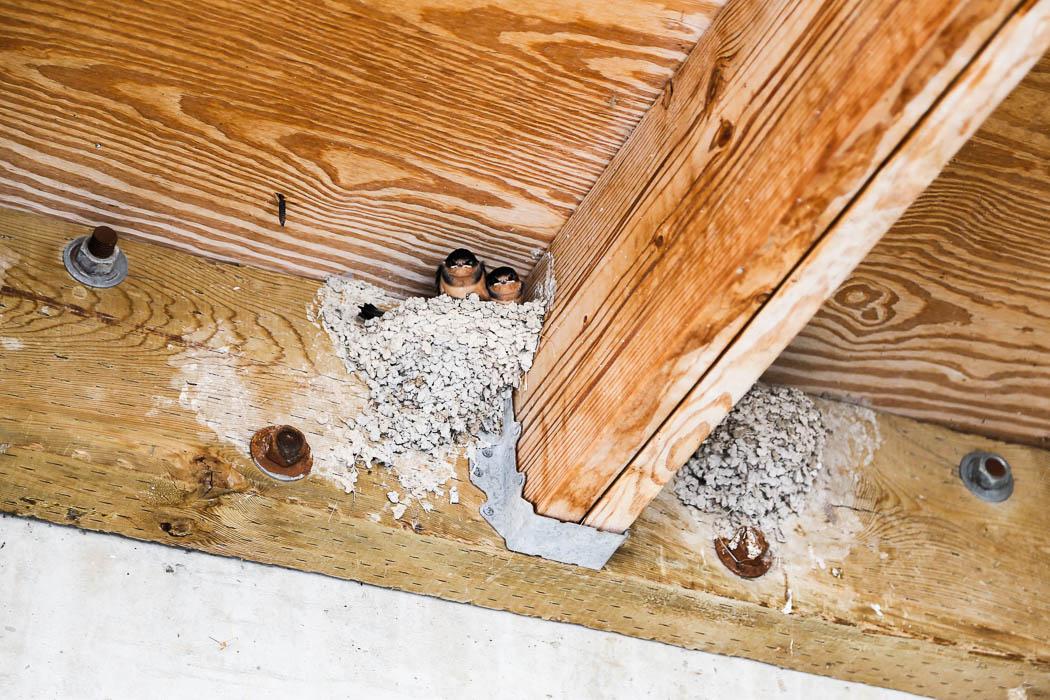 Svalor har byggt bo vid Visitor's Center, Antelope Island. Fågelskådare har mycket att hämta vid saltsjön.