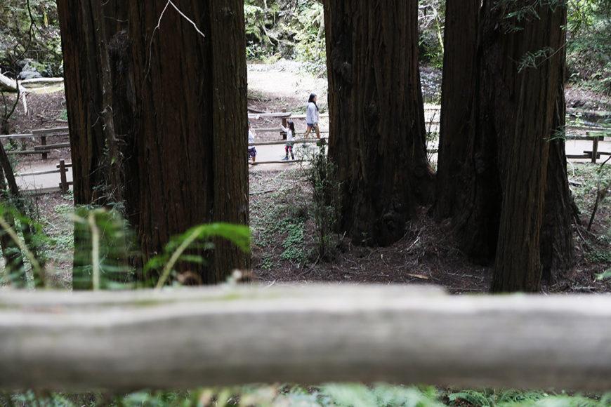 redwood-11