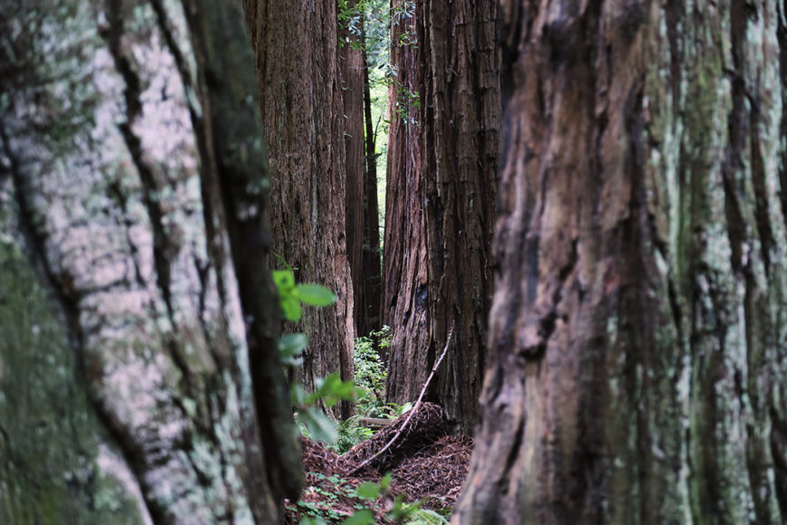 redwood-4